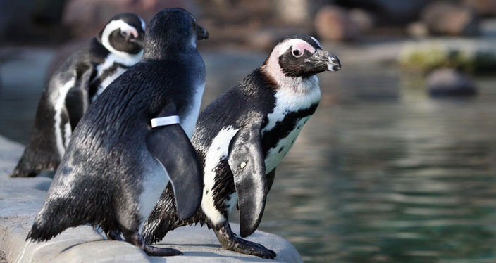 pinguins_wissel